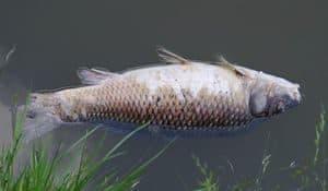A dead fish