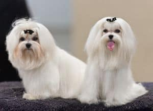 Two white poodles