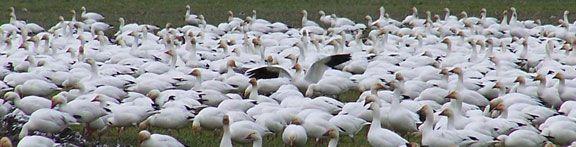 Flock of Geese.