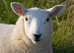 A white faced (Lundy) Sheep