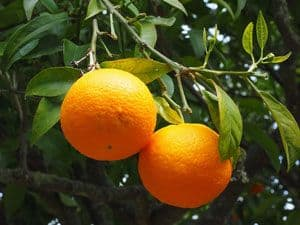 Orange fruit attached to tree