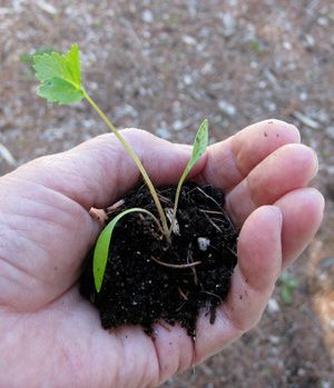 Seedling in persons hand