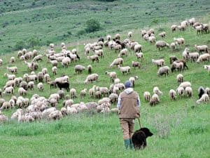 Shepherd on hillside with sheep and dog