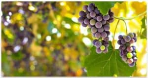 Vine & Grapes