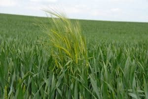 Field of wheat with weeds