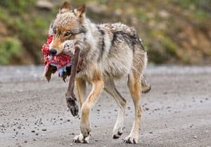Wolf with part of a sheep's carcas