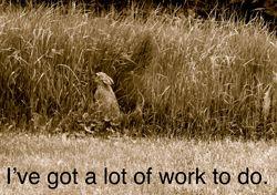 Hare in grain field