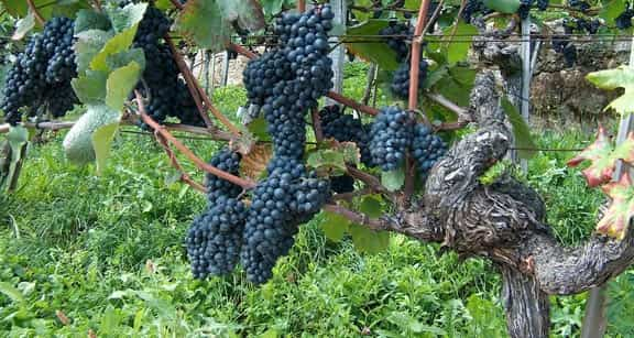 Vine branch with bunches of red grapes